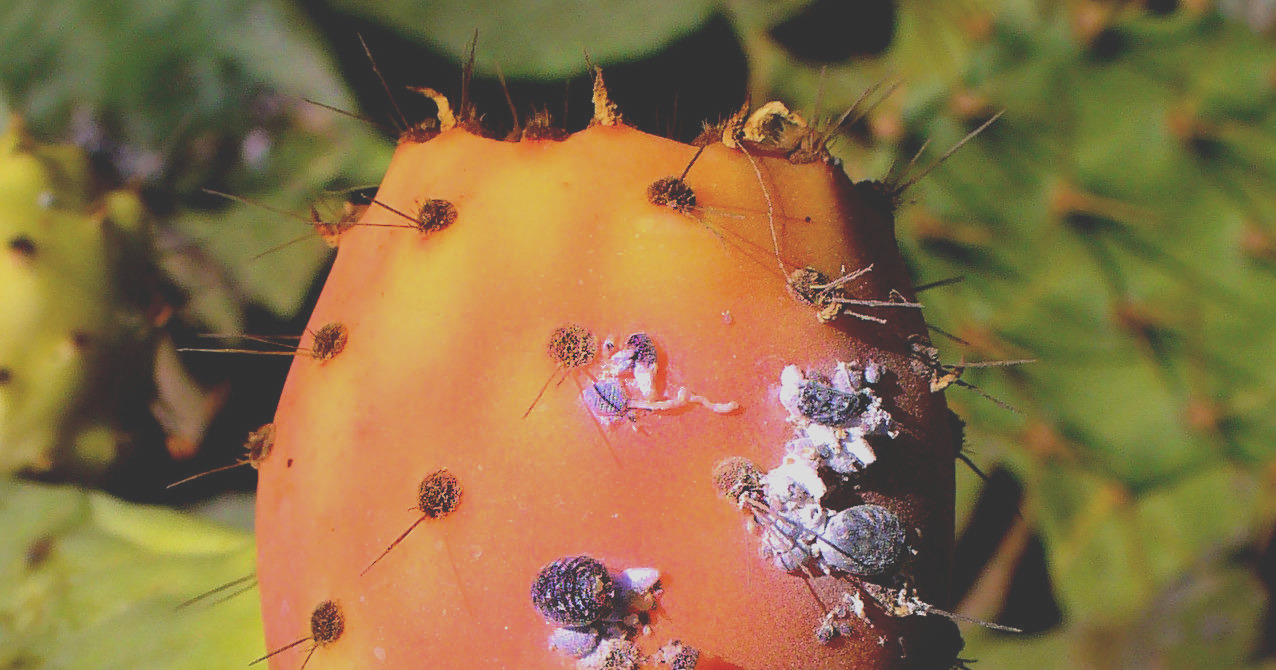 cochineal bug feature