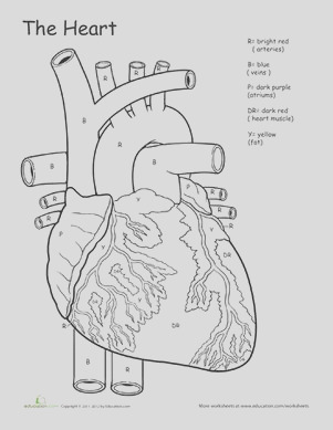 circulatory system drawing