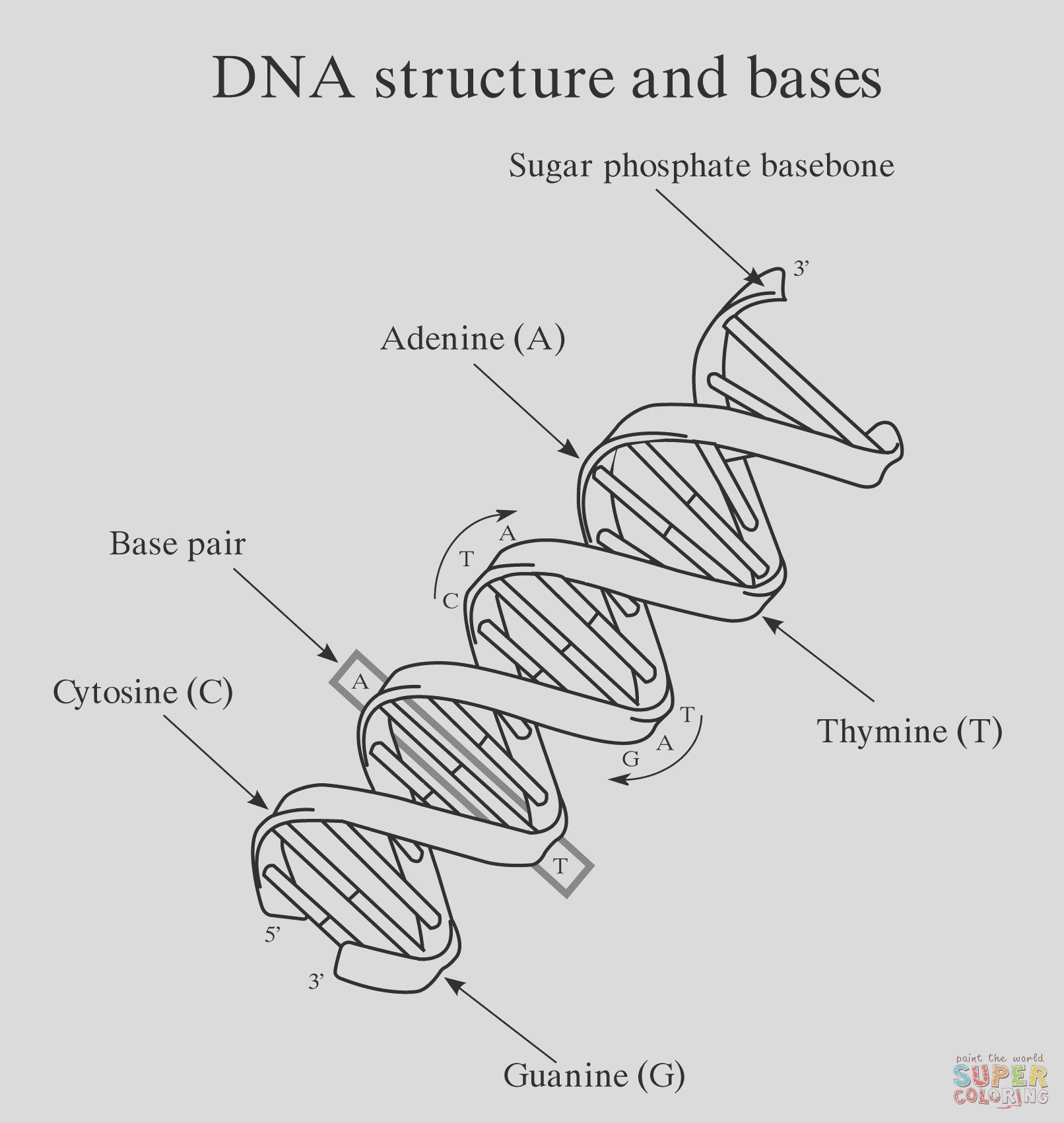 Why is it necessary for DNA replication to be continuous on one strand and in Okazaki fragments on the other