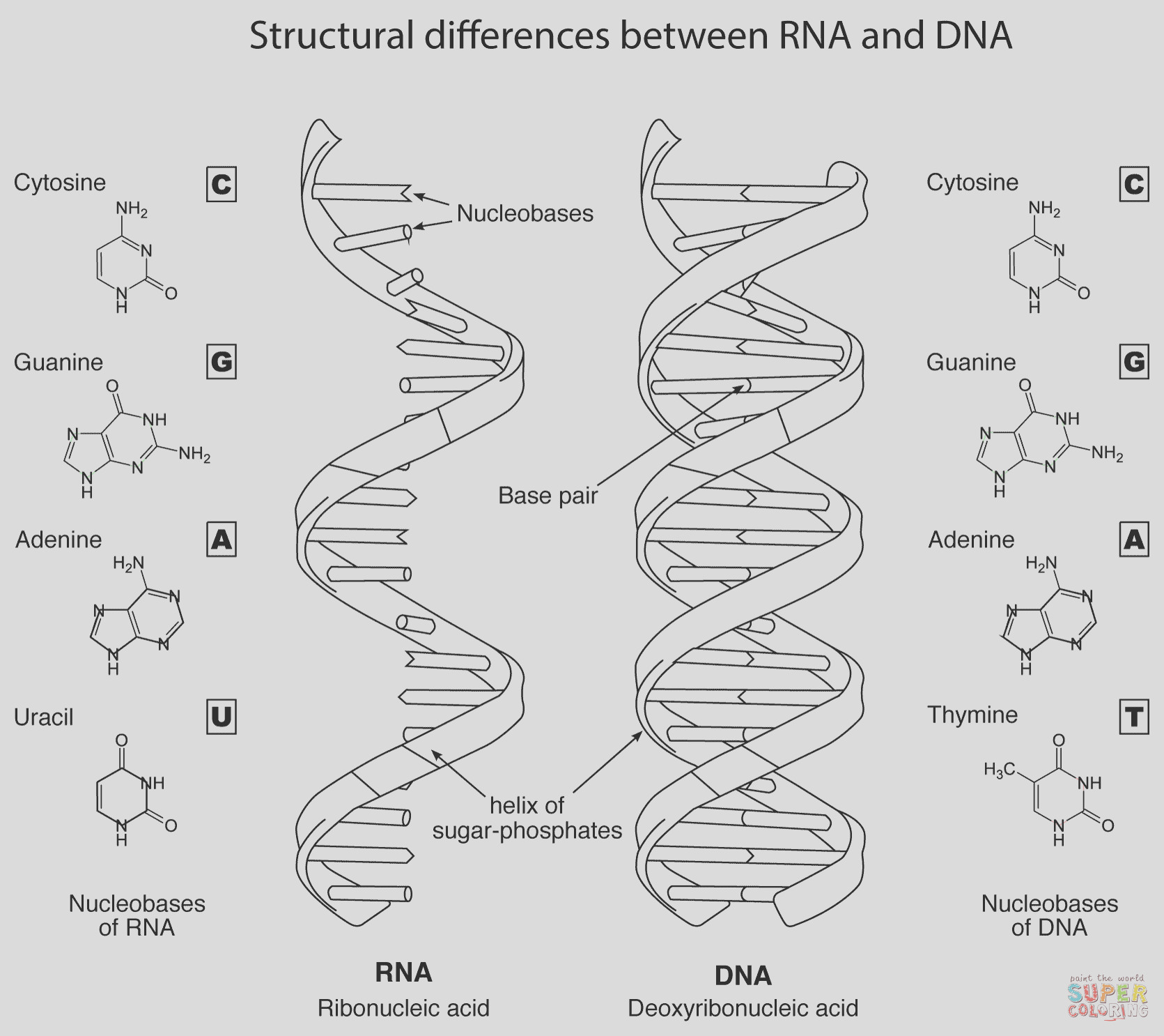 structural differences between rna and dna