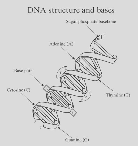 dna structure and bases