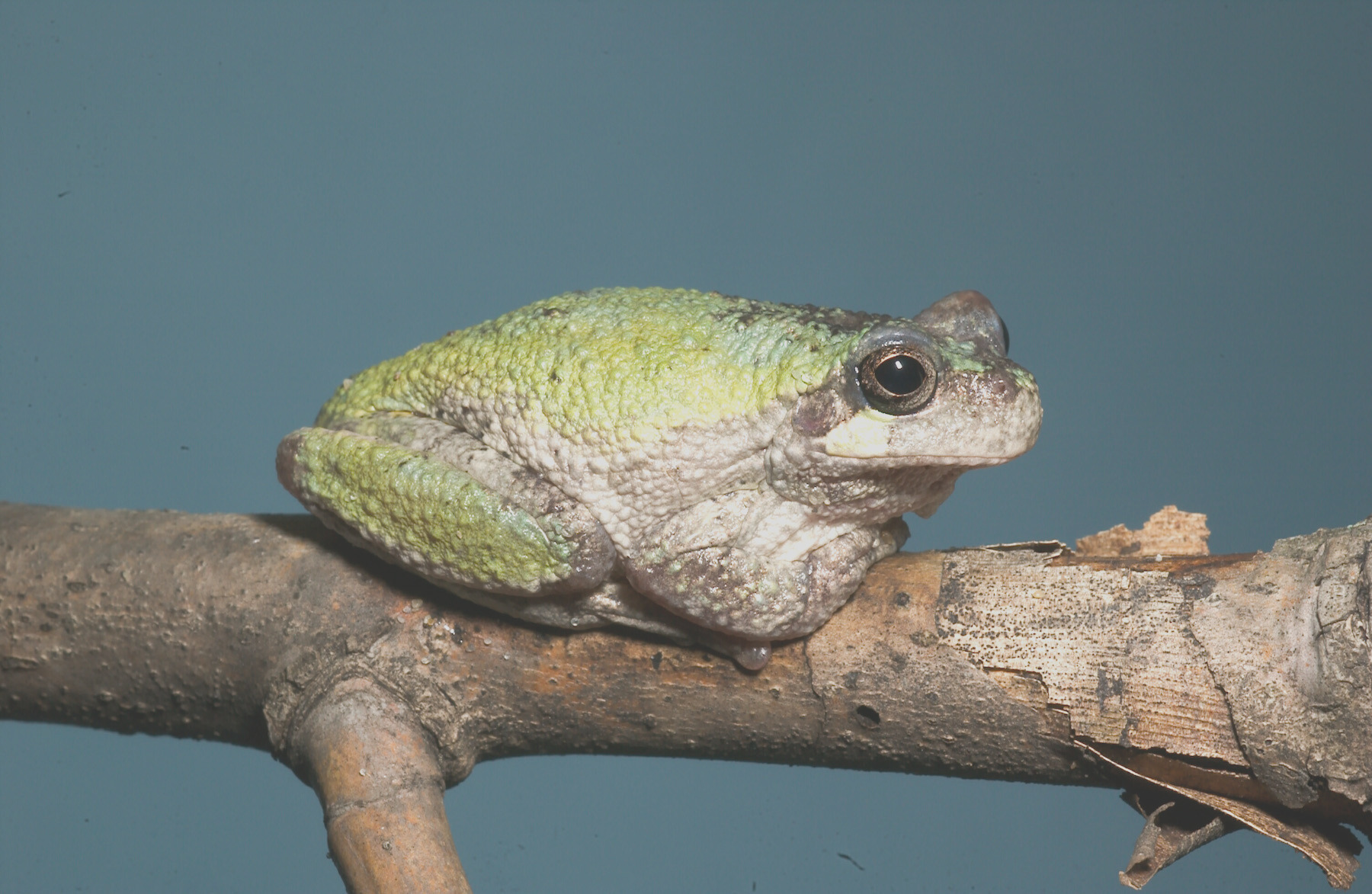 gray treefrog and cope's gray treefrog