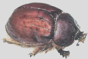 female cochineal beetle and your food