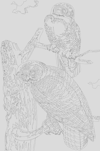 snowy owl from birds of america 1827 by john james audubon adult coloring page