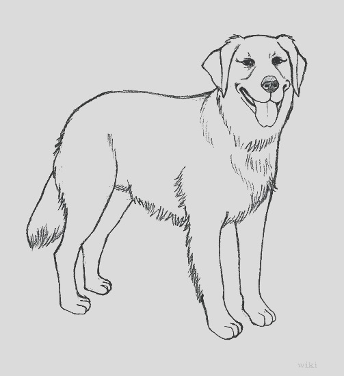 yellow lab drawing