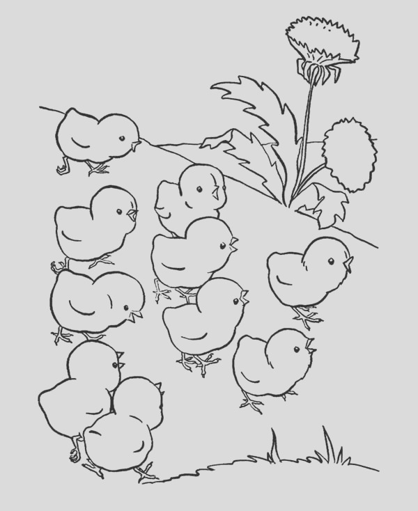 baby chicken lose their mother coloring page