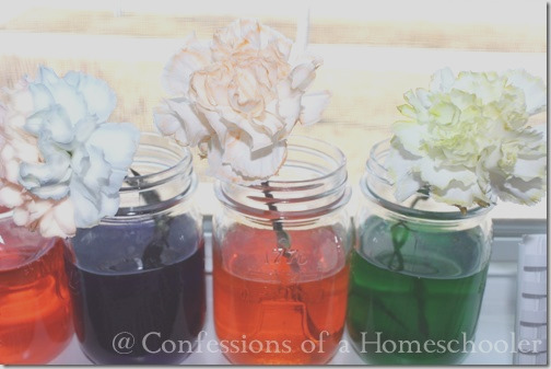 flower dying science experiment
