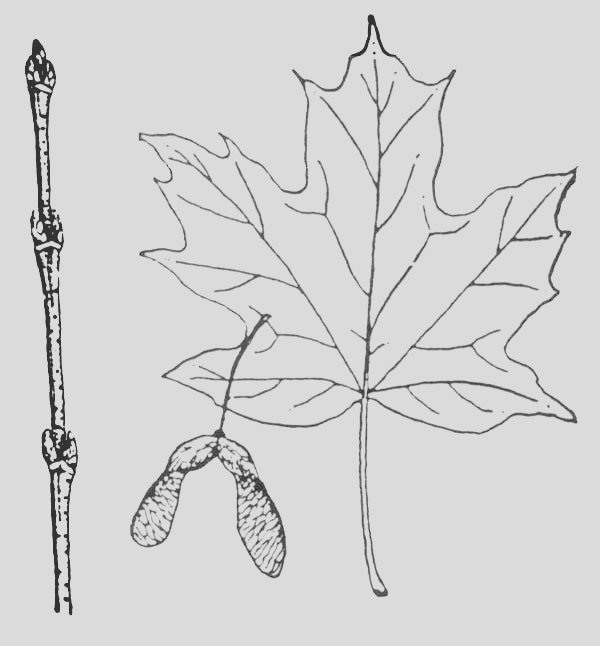 picture of sugar maple leaf coloring page