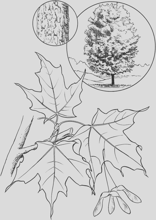 sugar maple leaf coloring page