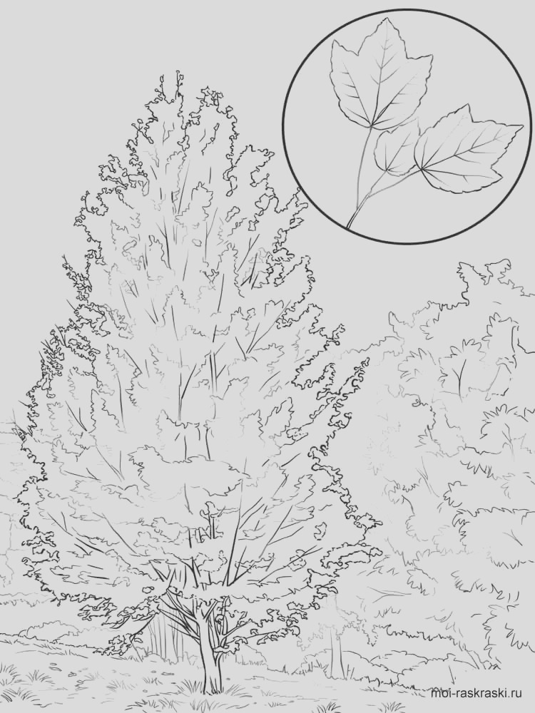 maple tree coloring pages