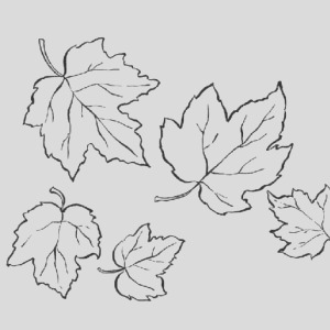 post sugar maple leaf coloring page