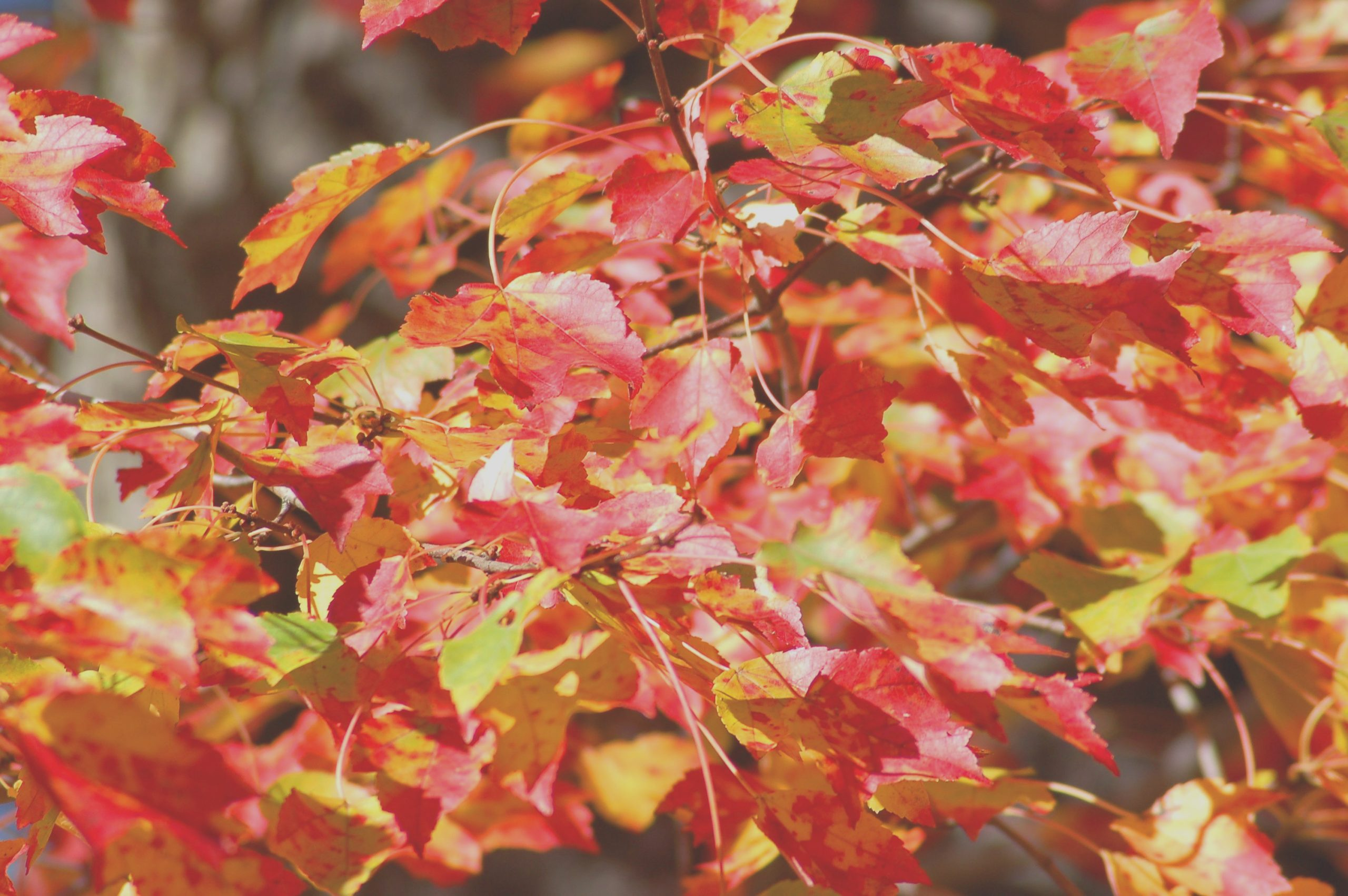 best maple trees for fall color