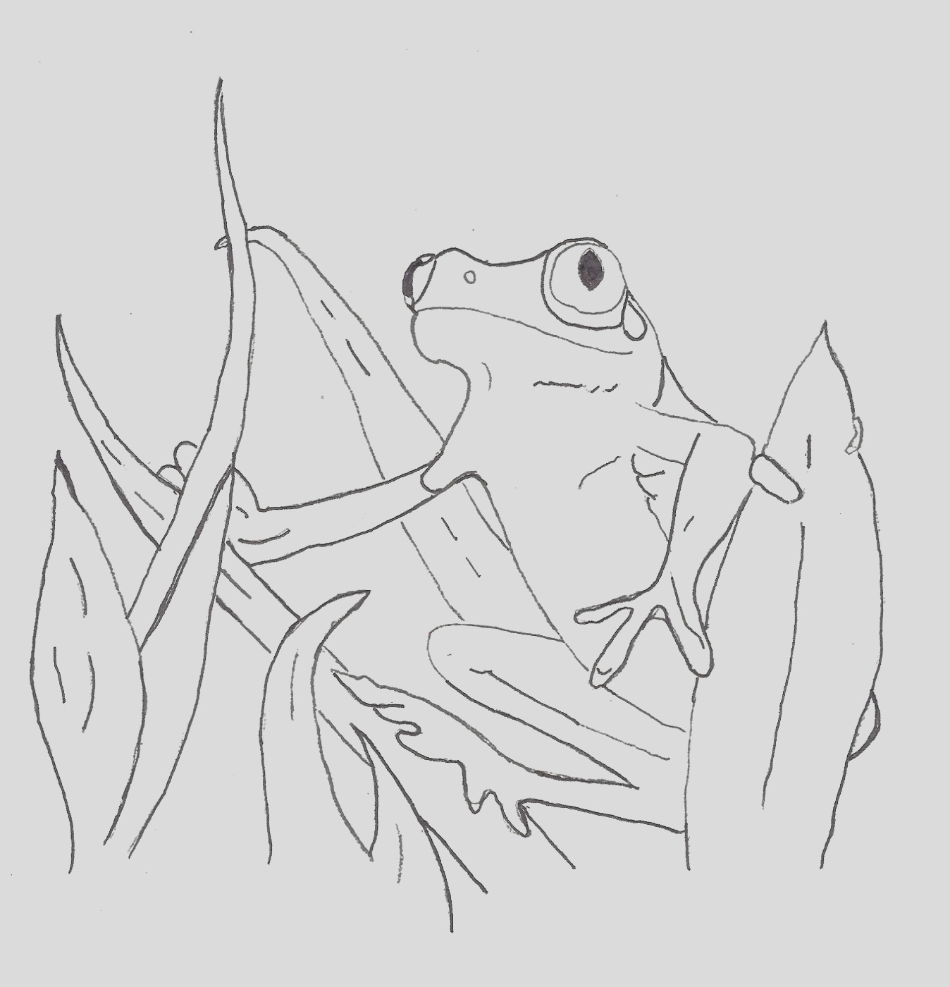 free coloring pages of the red eye tree frog