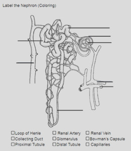 color and label the nephron