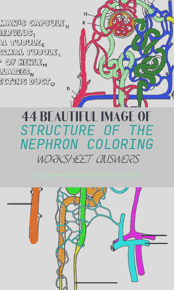 Structure Of the Nephron Coloring Worksheet Answers Elegant Anatomy Of the Kidney and Nephron