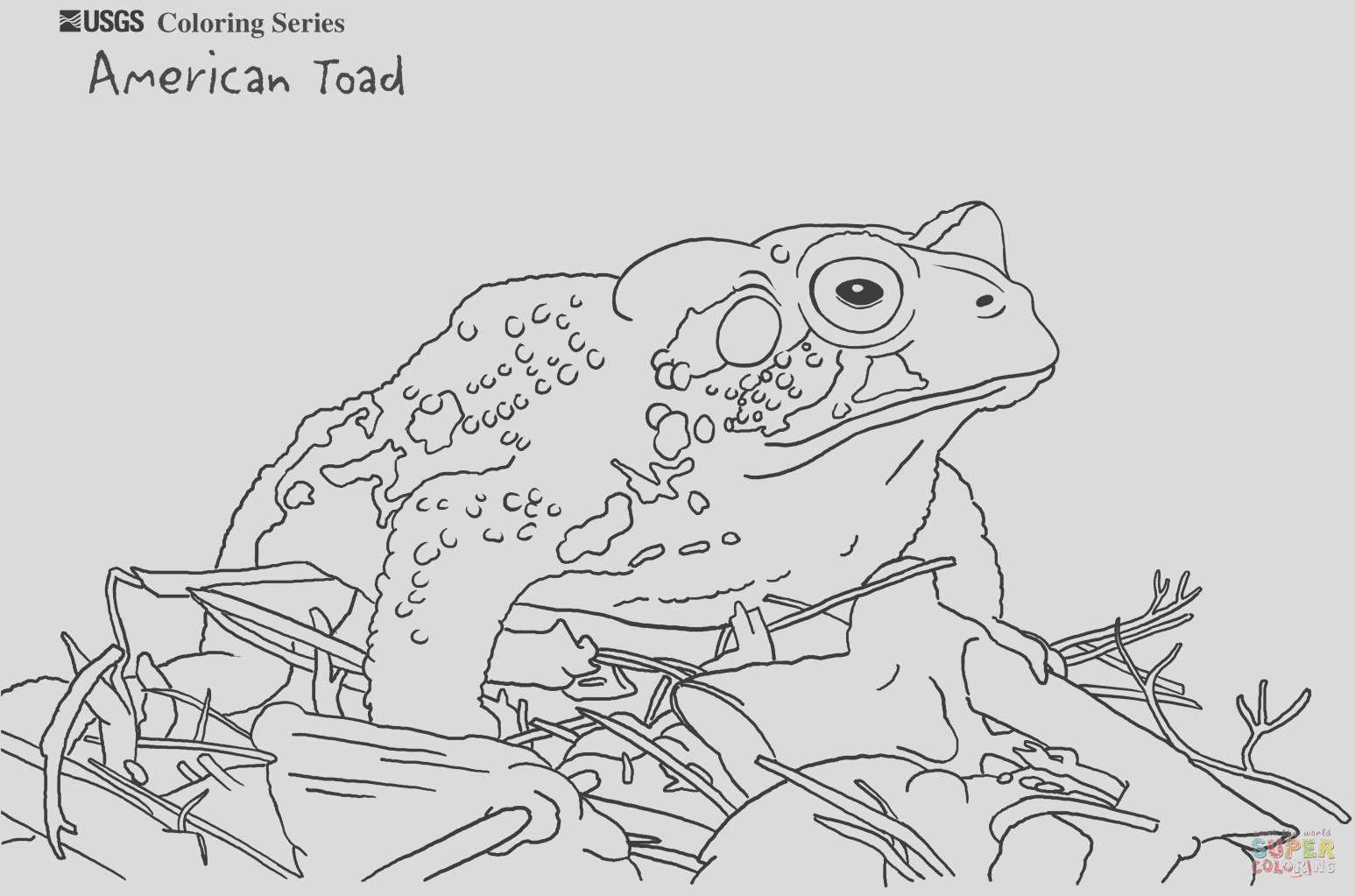 american toad 0