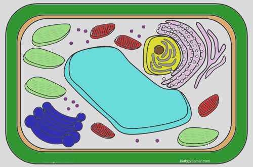 color a typical plant cell
