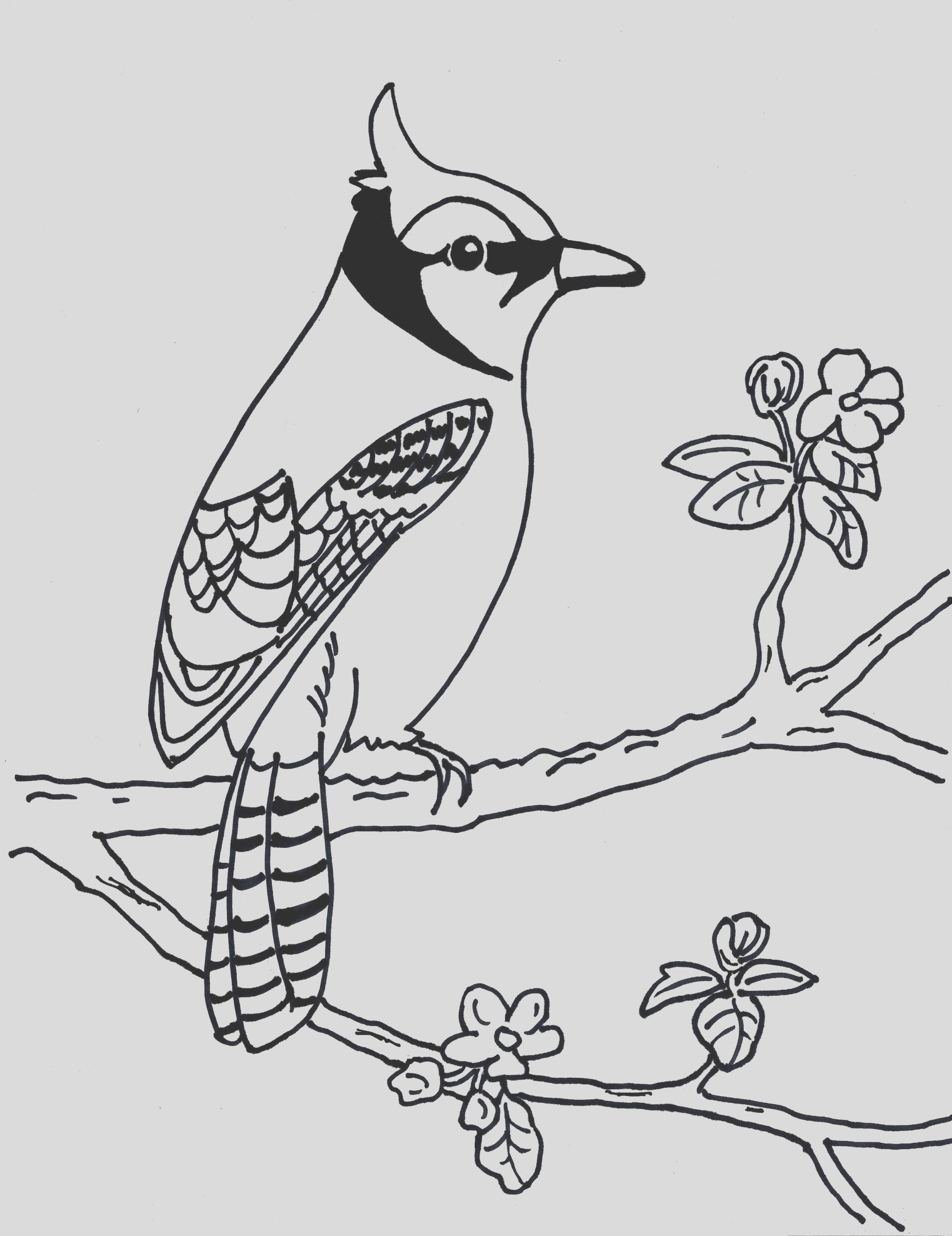 blue jay coloring page3 2
