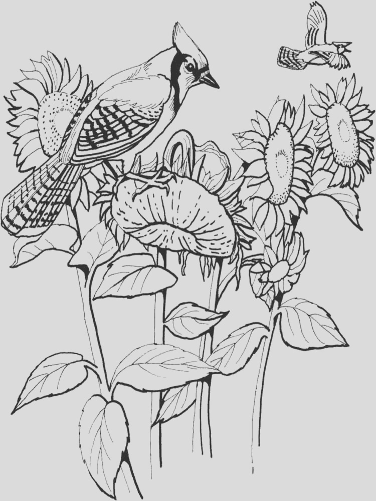 blue jay coloring pages