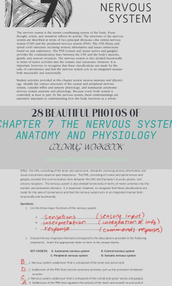 Chapter 7 the Nervous System Anatomy and Physiology Coloring Workbook Unique the Nervous System