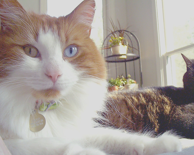 cats with multi colored eyes are stunning but what causes it