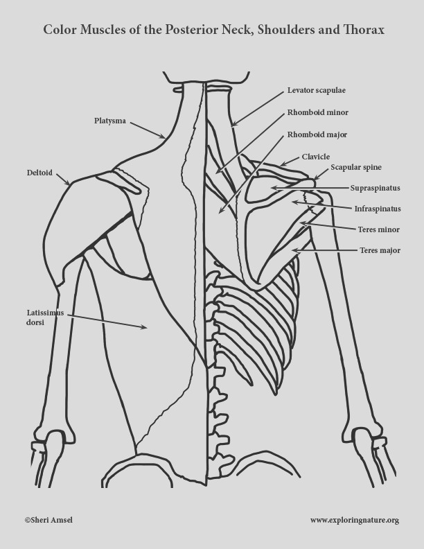 Muscles of the Posterior Neck Shoulders and Thorax Coloring Page