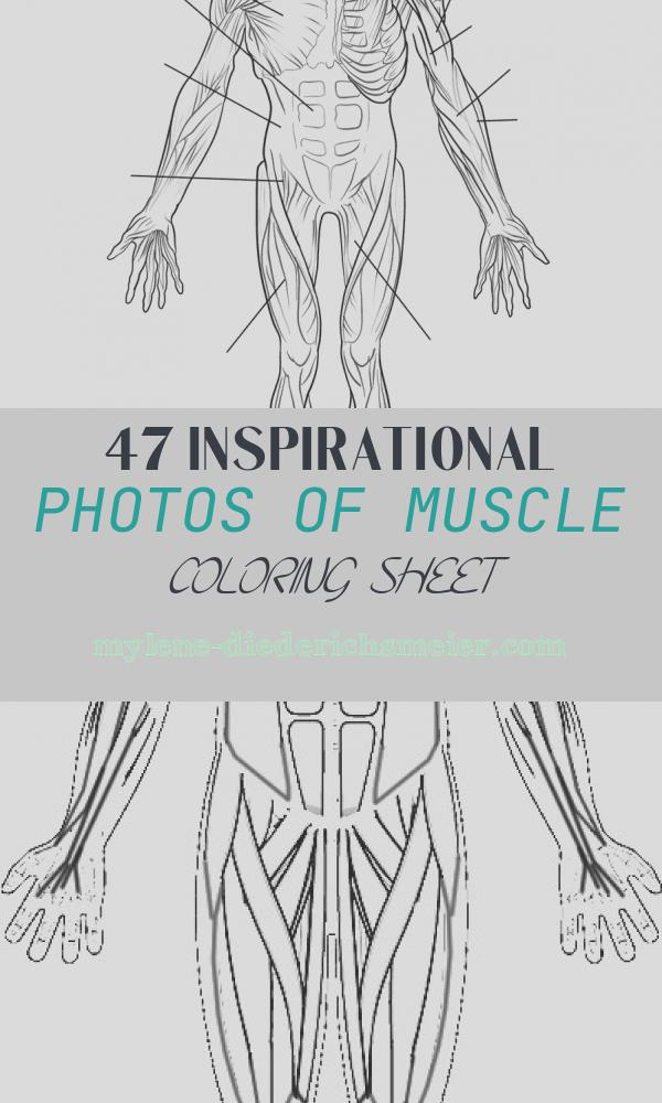 Muscle Coloring Sheet Inspirational Human Muscles Front View Worksheet Coloring Page