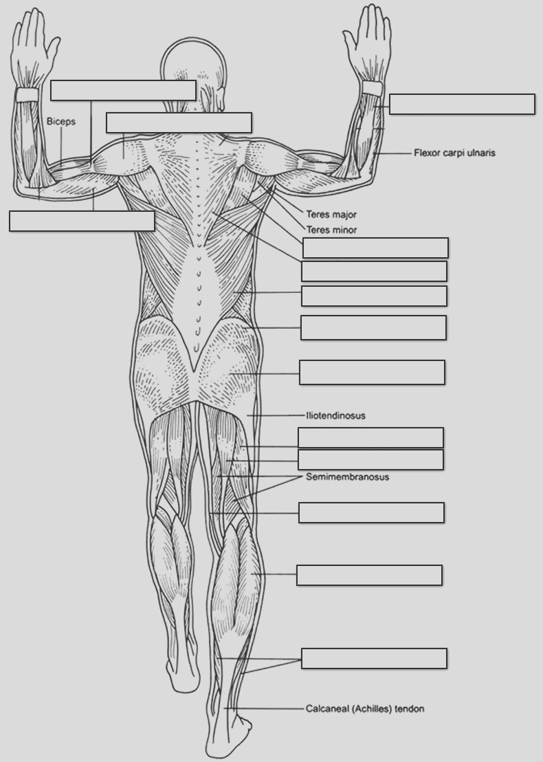 post human muscle worksheets