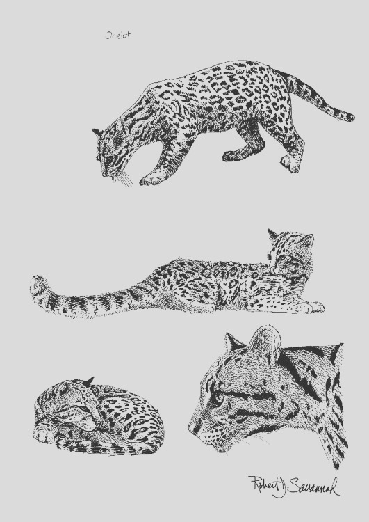 coloring page ocelot i8557
