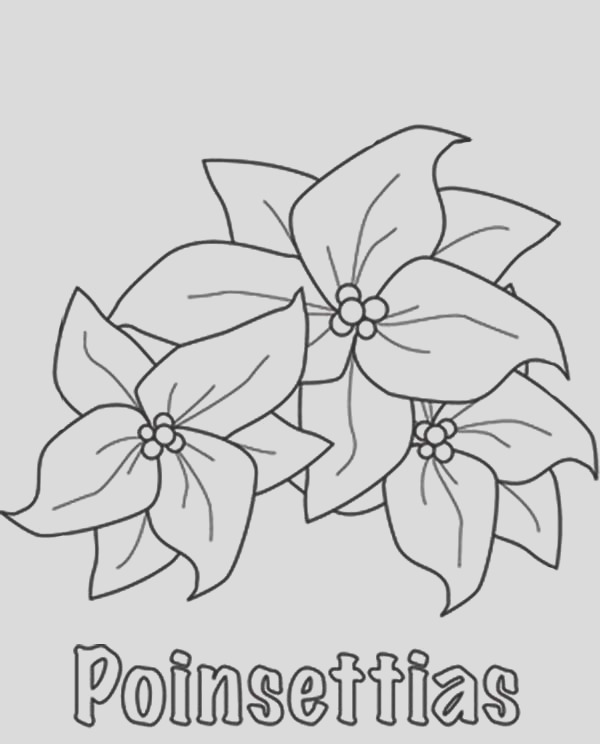 how to sketch poinsettia flower coloring page