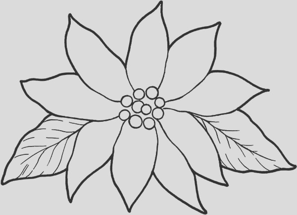 blooming poinsettia coloring page