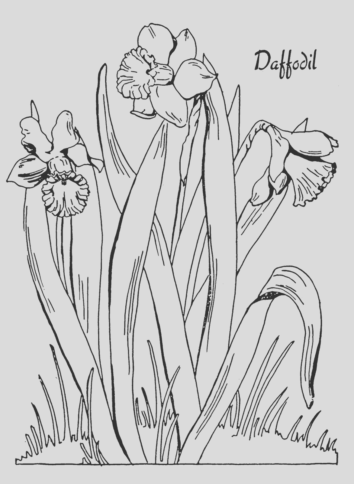 kids printable daffodil coloring page