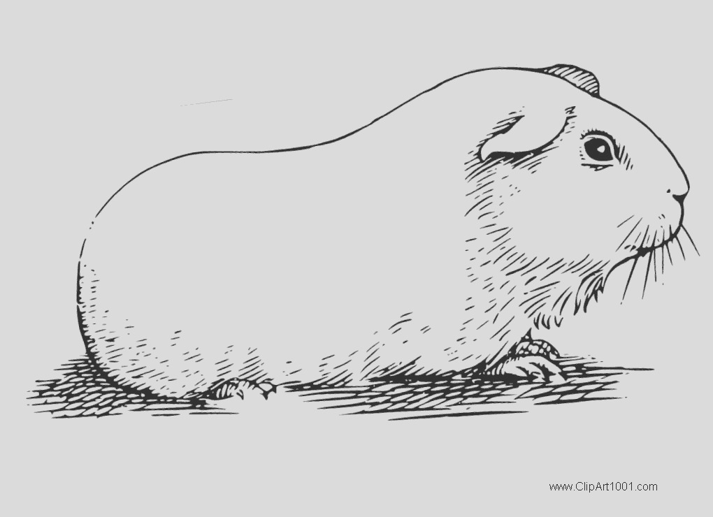 guinea pig coloring pages realistic sketch drawing