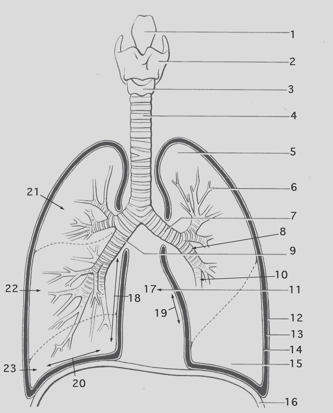 respiratory system coloring worksheet answers sketch templates