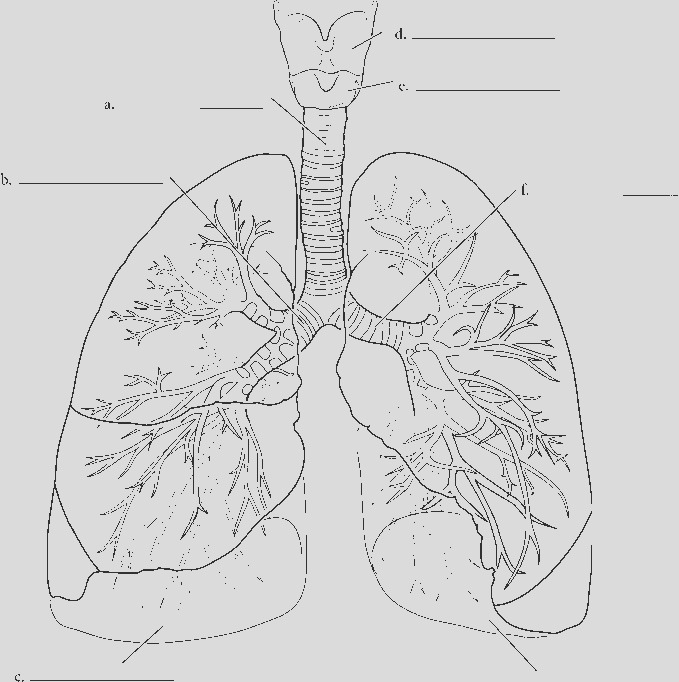larynx trachea and lungs overview