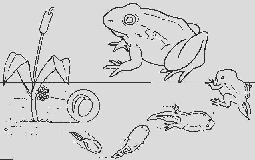 preschool lesson from tadpoles to frogs