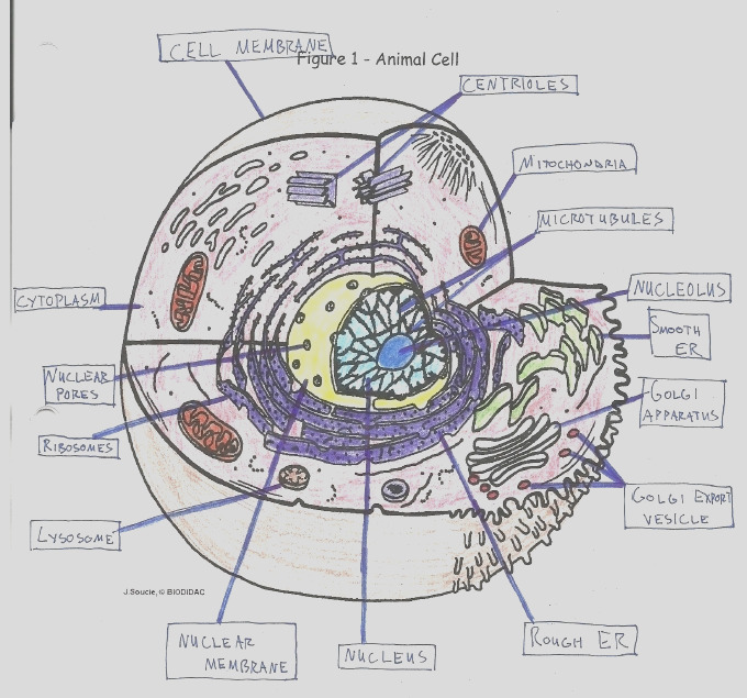 plant cell coloring answer key with labels