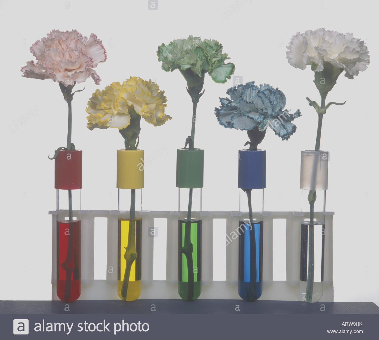 stock photo carnations showing the conduction of food coloring into petals of
