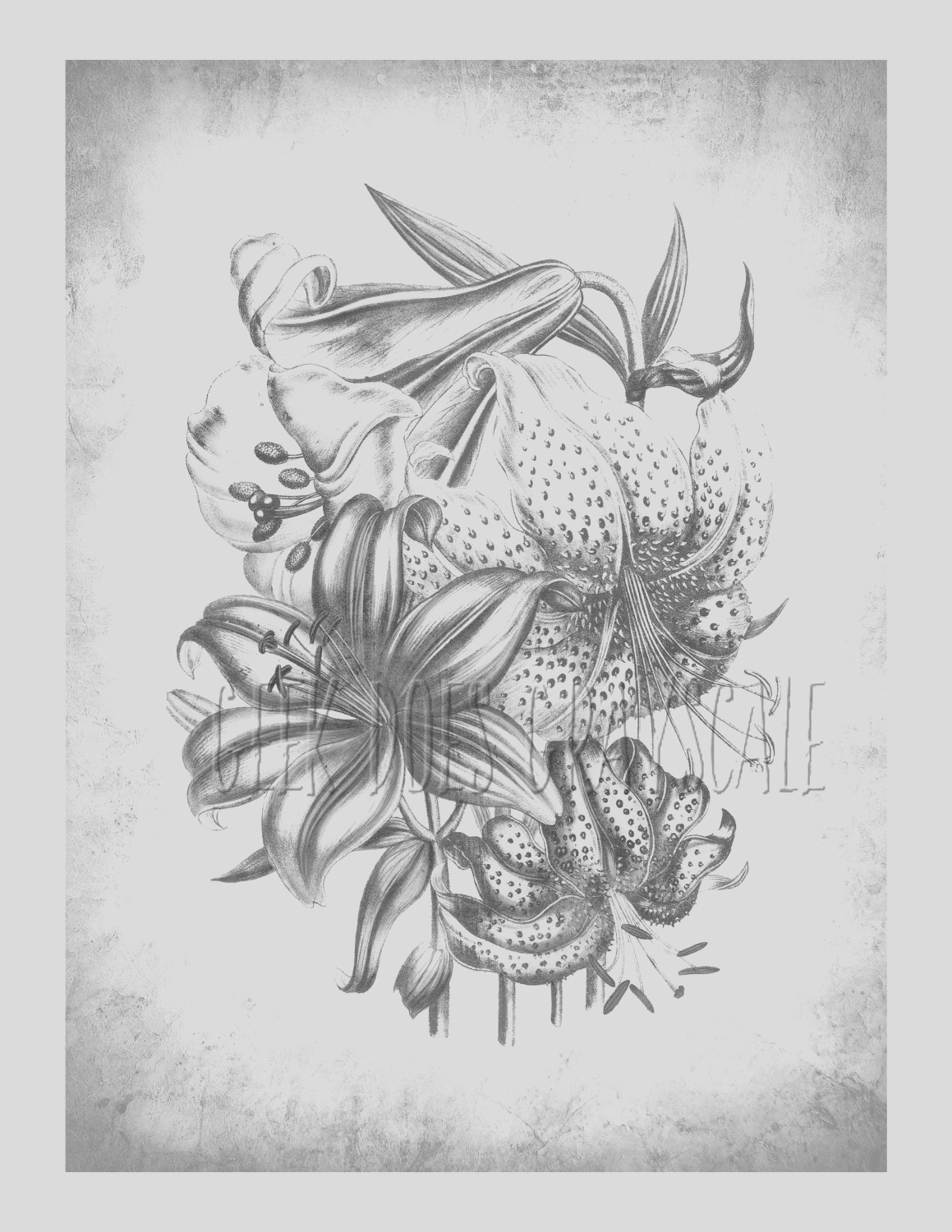 printable grayscale lilium grayscale