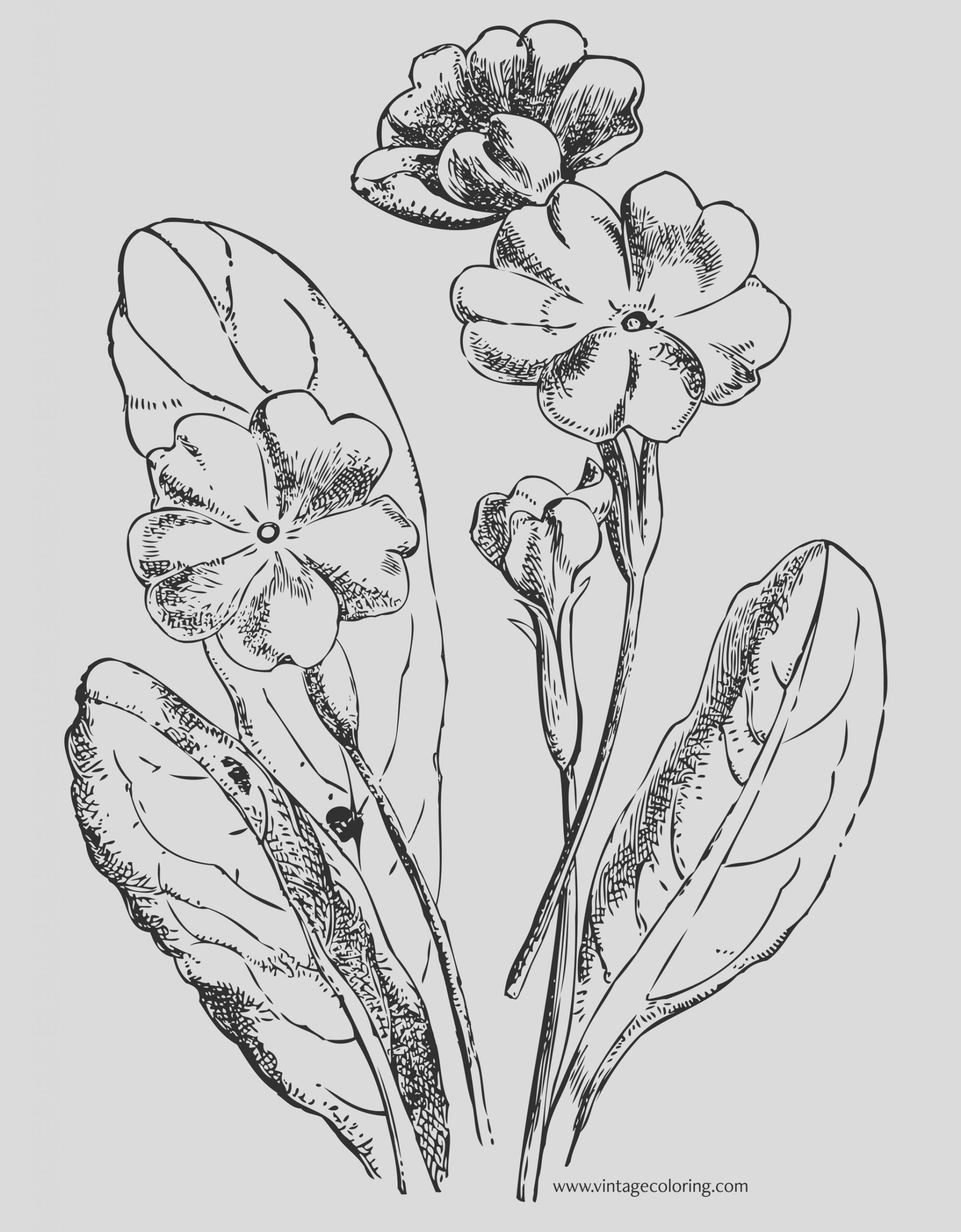 the primrose a free vintage coloring page