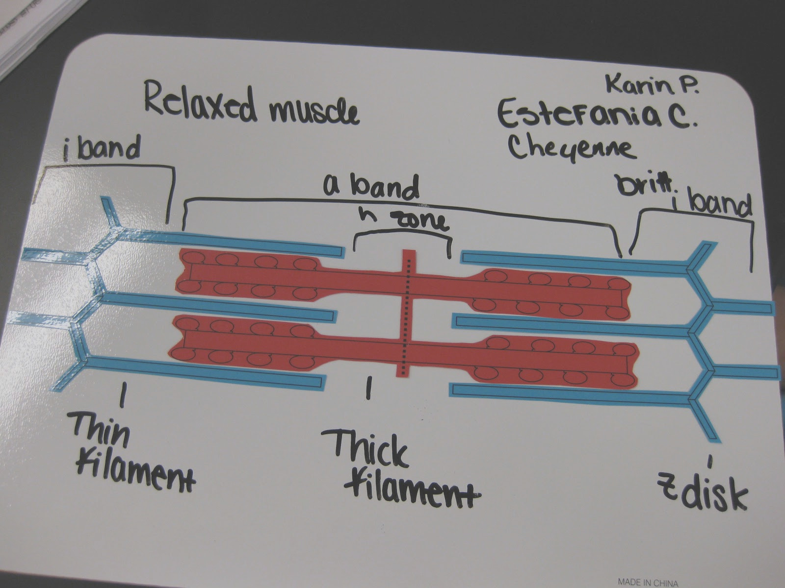 muscle contraction modeling