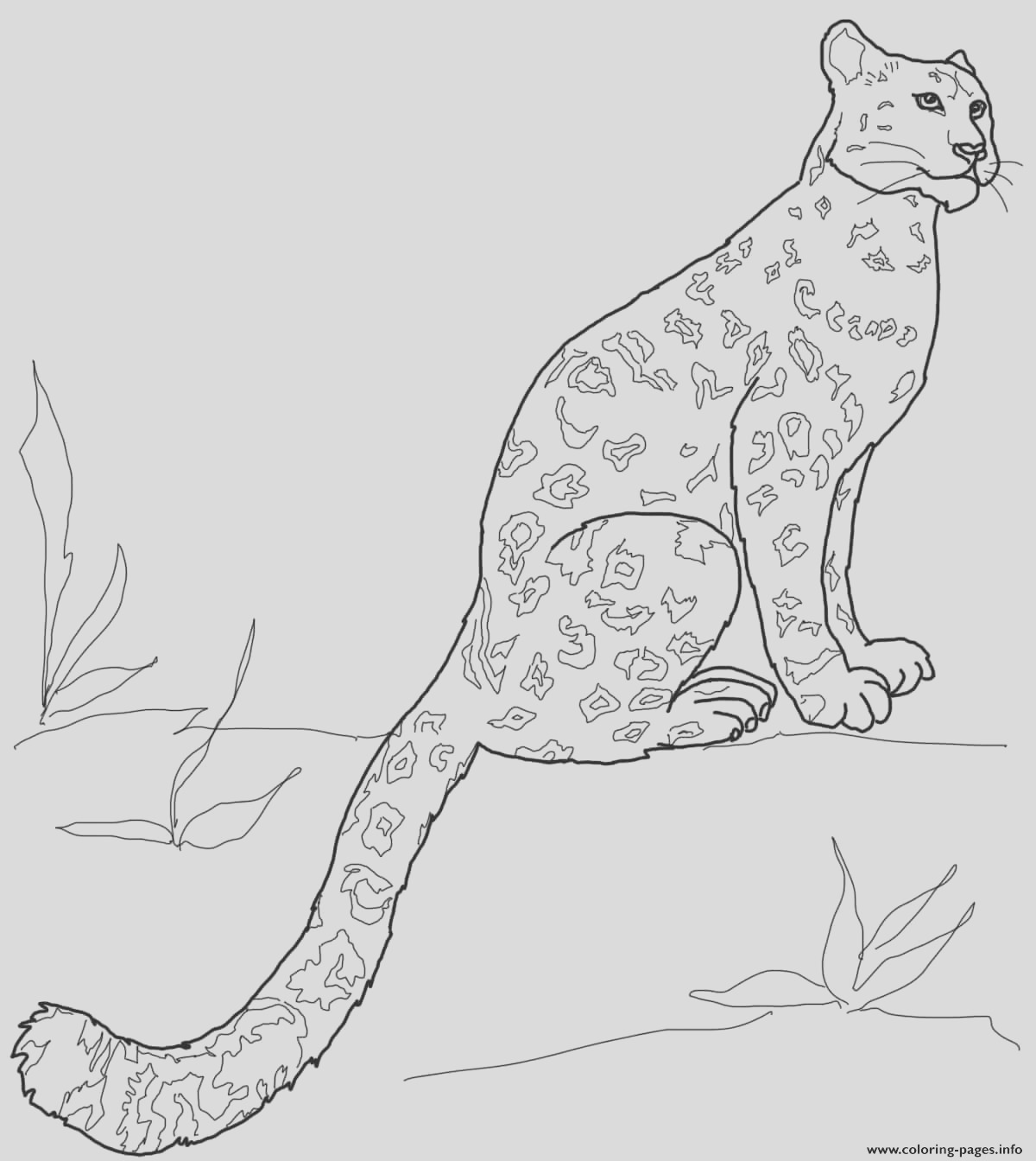 snow leopard sitting printable coloring pages book