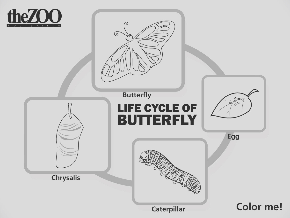 butterfly cycle coloring page