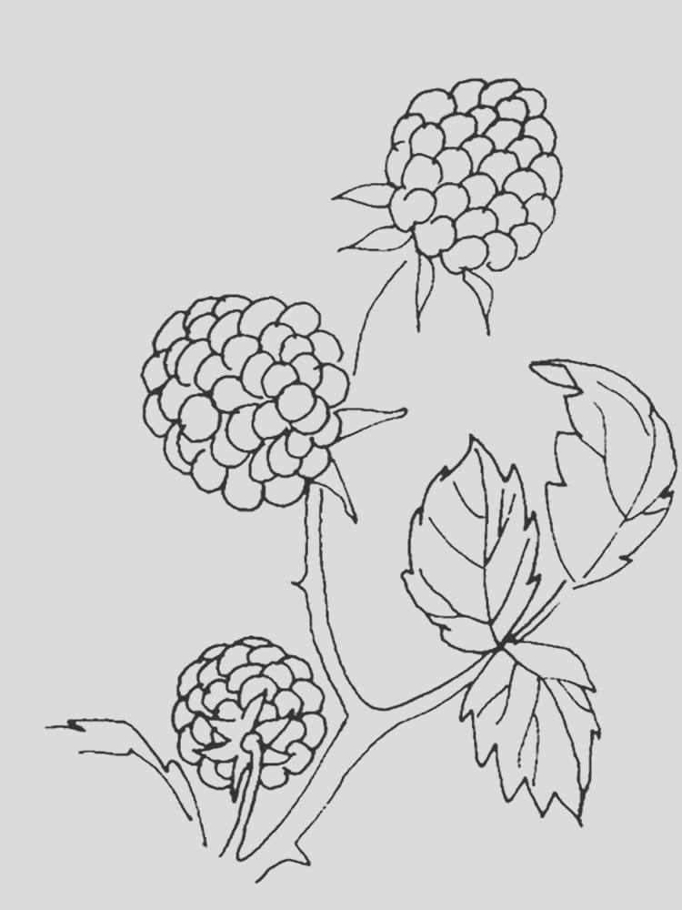 blackberry coloring pages