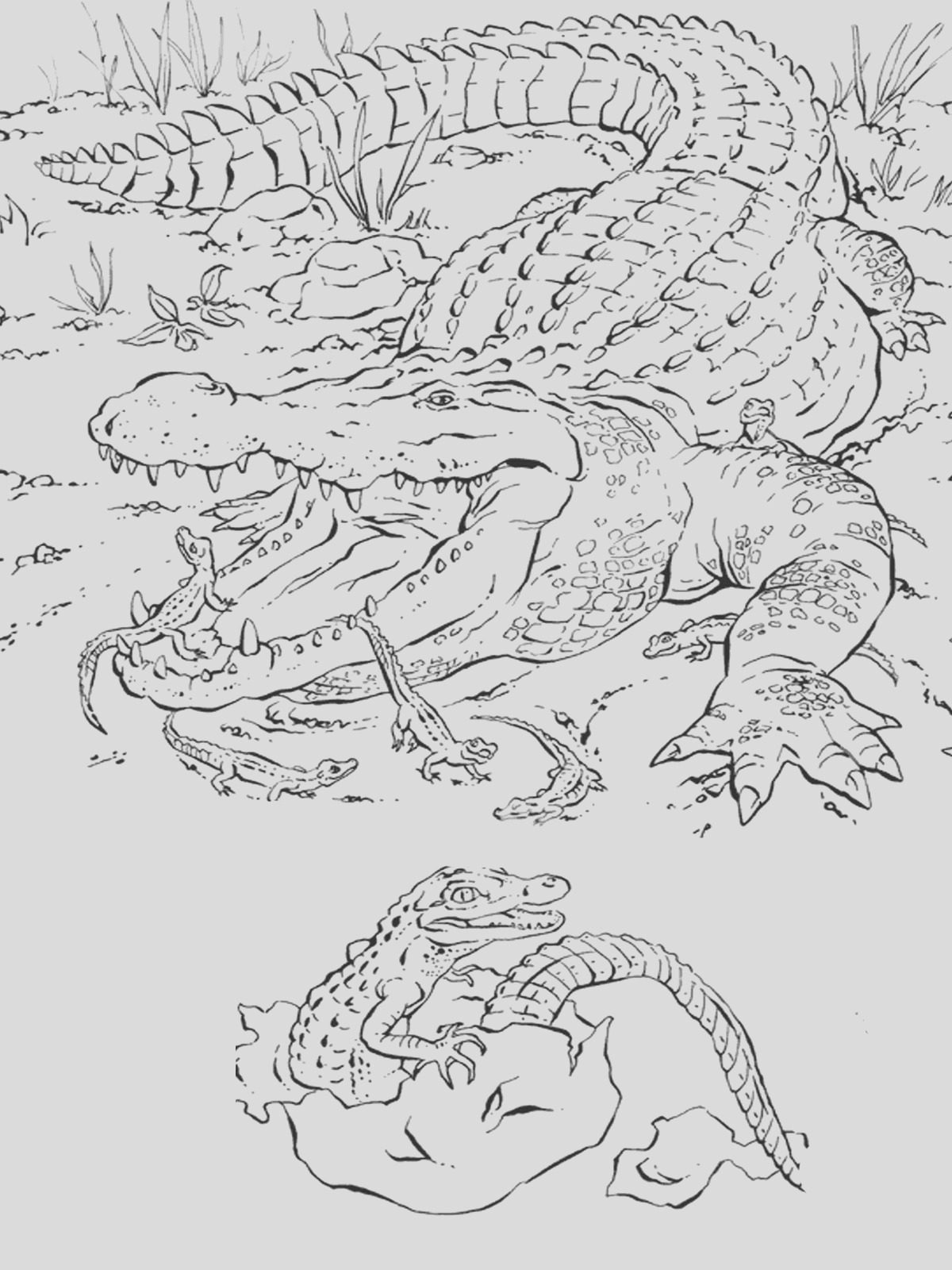 realistic alligator coloring pages