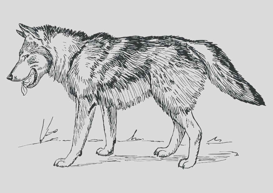 wolf coloring pages for adults