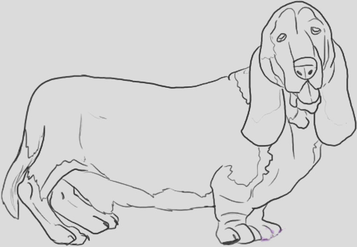 how to draw a basset hound