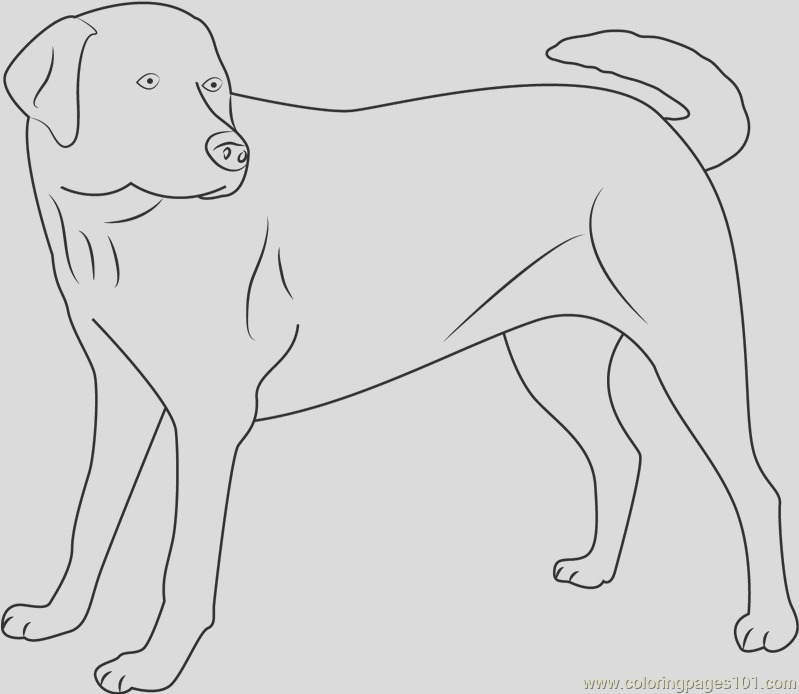 yellow labrador looking new coloring page