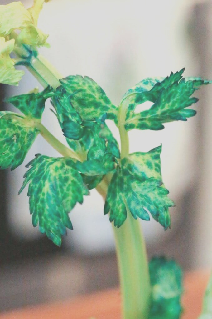 celery osmosis science experiment