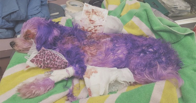 dog brought shelter suffering severe burns due hair dye